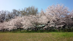 20150402_MT桜